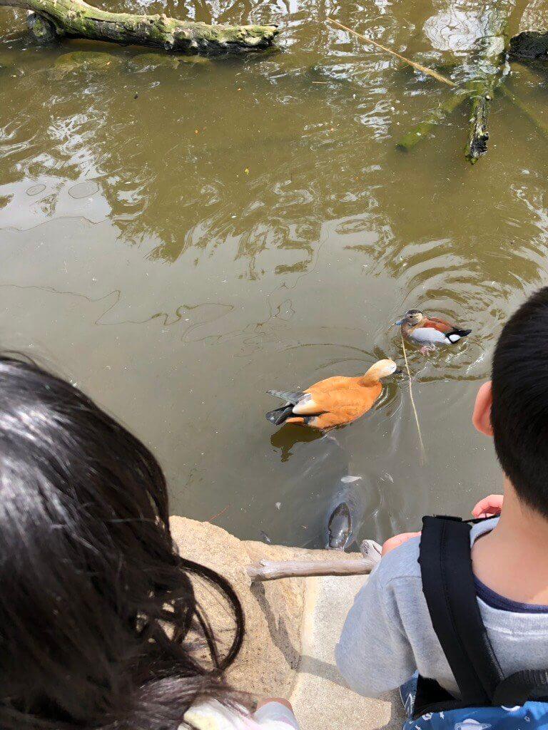 神戸どうぶつ王国の鳥、アカツクシガモとツクシガモかな