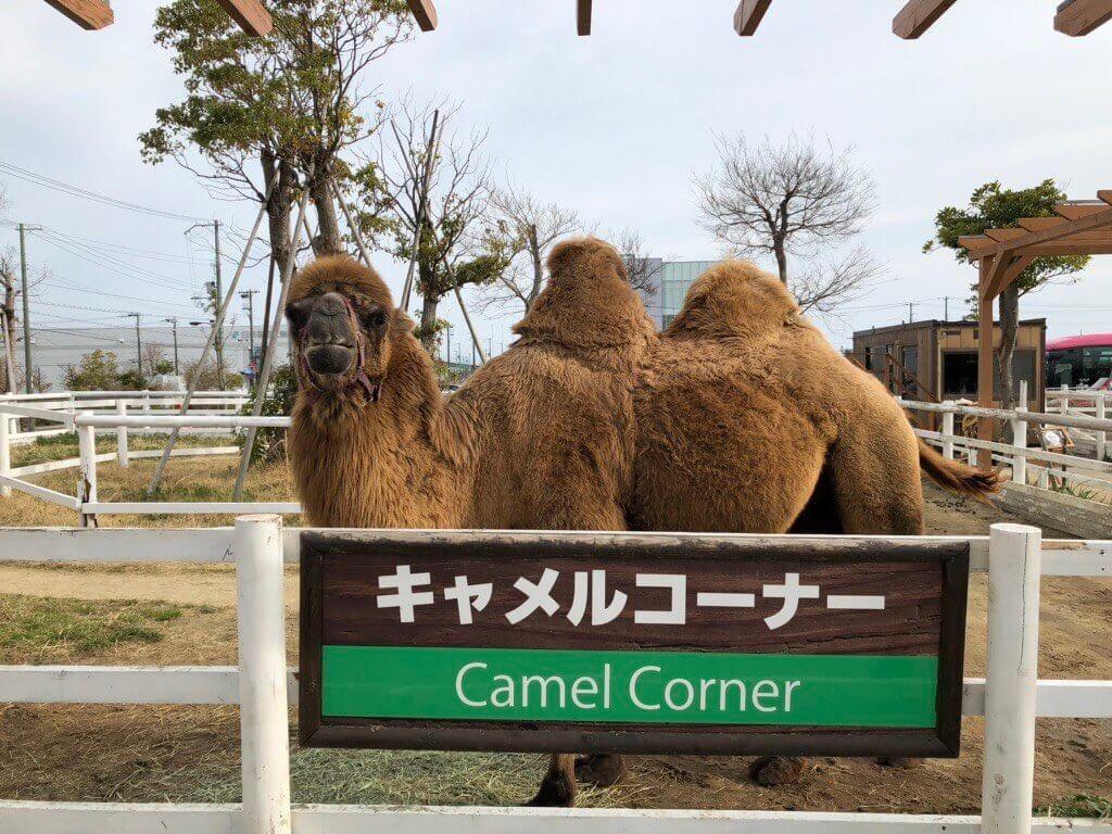 神戸どうぶつ王国のラクダ