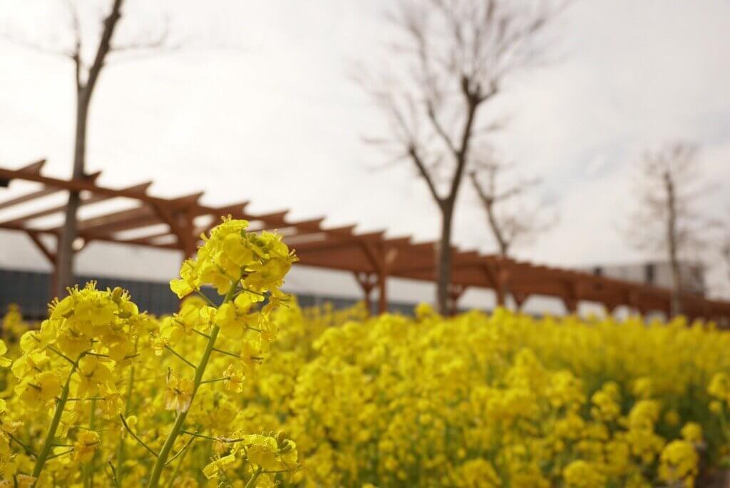 神戸どうぶつ王国の菜の花