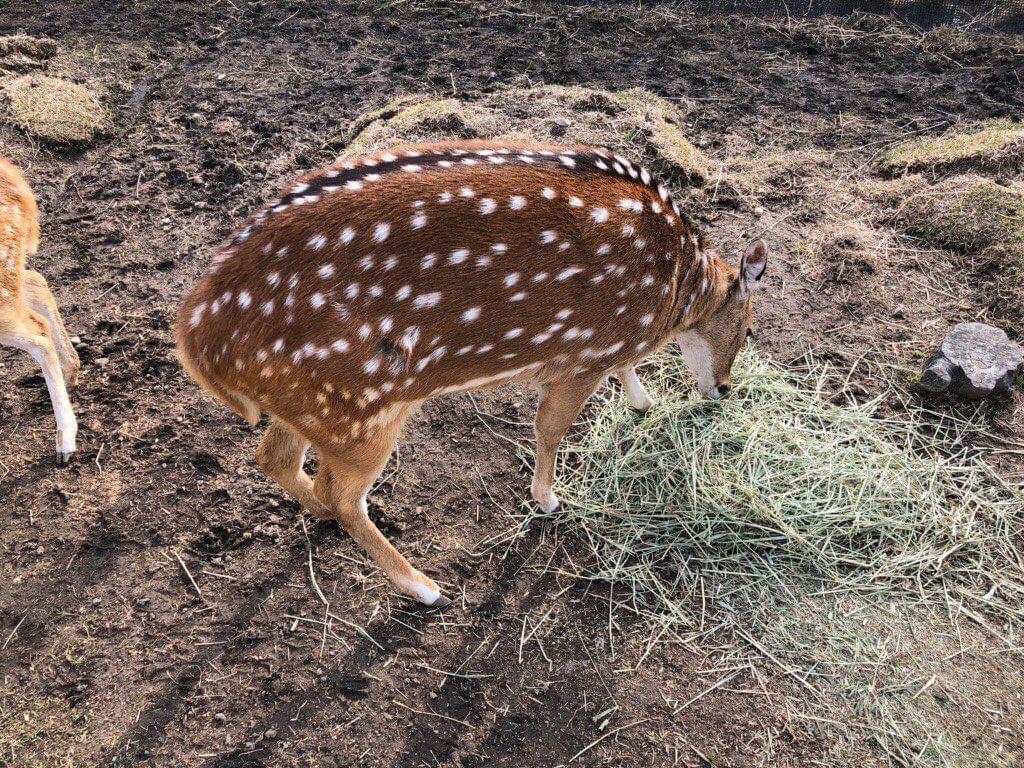 神戸どうぶつ王国の鹿
